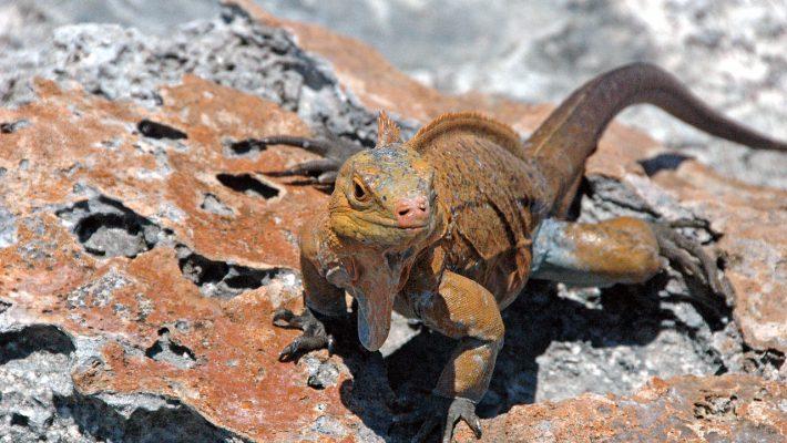 Cyclura_rileyi_rileyi_(San_Salvador_rock_iguana)_(Green_Cay,_offshore_from_northwestern_San_Salvador_Island,_Bahamas)_8_(16040067622)