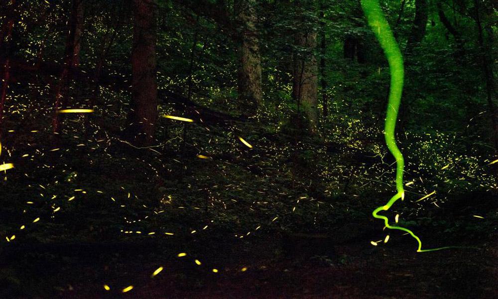 fireflies-