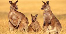 16-Maria-Island-kangaroos
