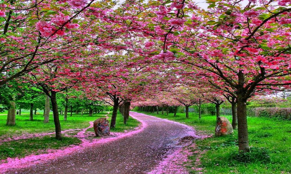 -Sakura-