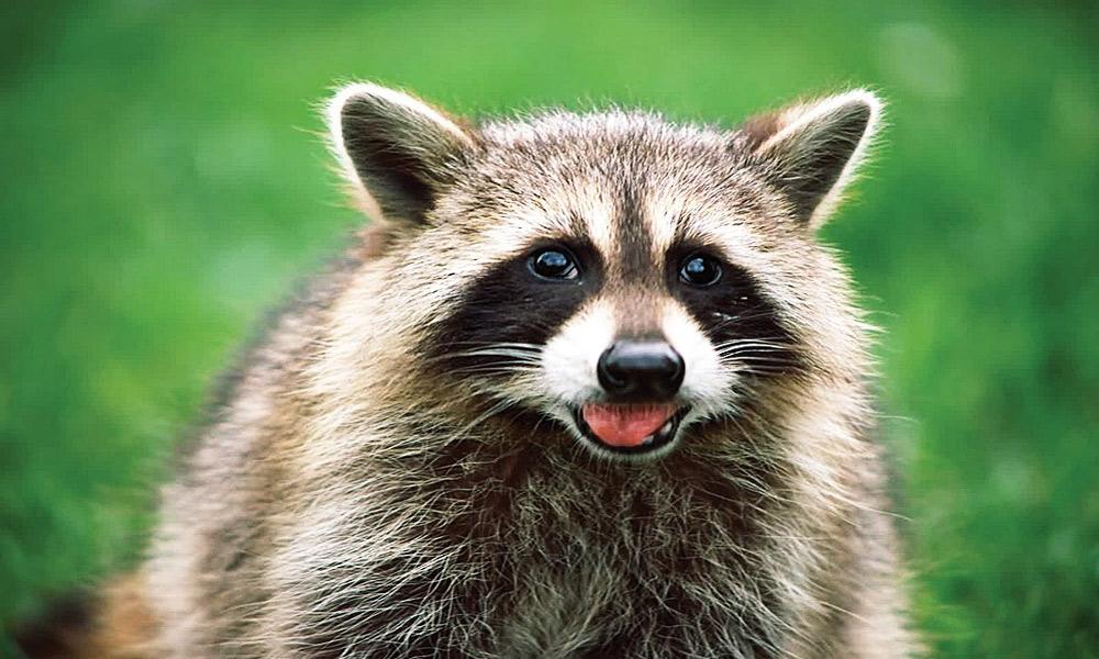 distemper-Raccoon