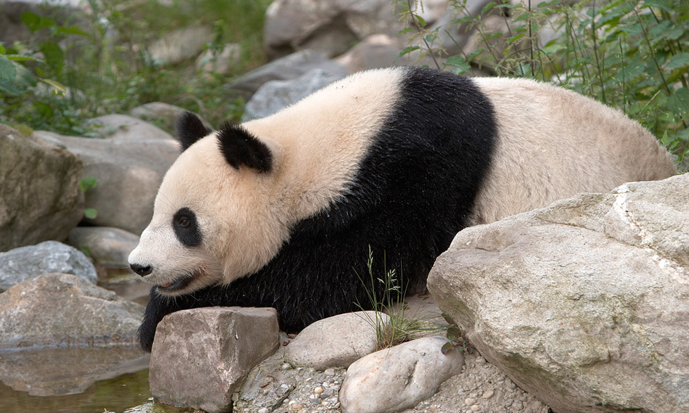 Panda_Vienna