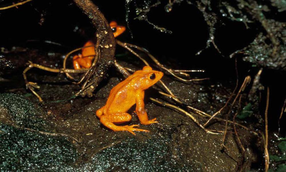 Golden_toads_M