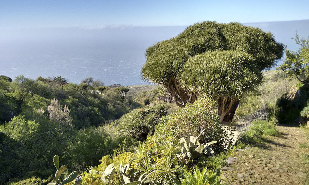 Dragon-trees-Canary-Islands