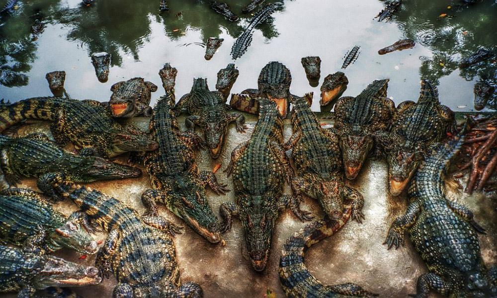 تایلند بزرگ ترین زیستگاه کروکودیل ها