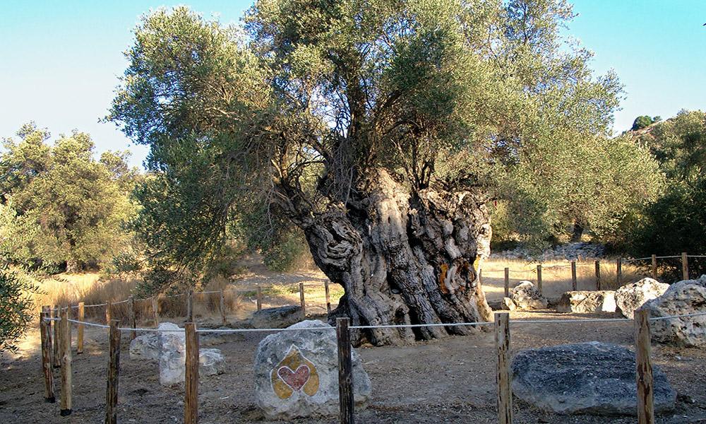 یونان مهم ترین تولید کننده زیتون در جهان