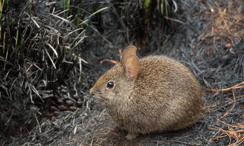 خرگوش آتشفشانی
