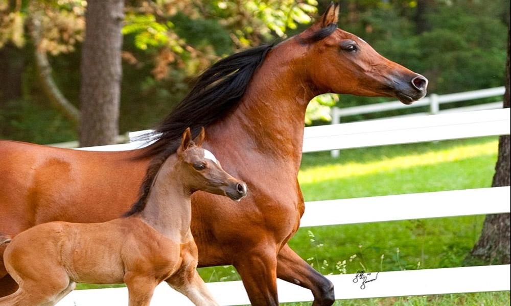 بهترین نژاد اسب